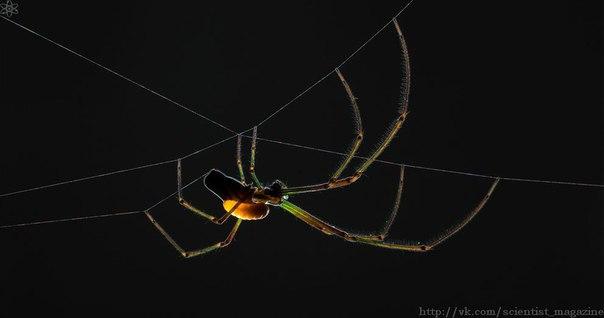 Паразитические наездники вида Hymenoepimecis argyraphaga способны парализовать пауков и откладывать яйца на их брюшко