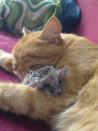 Кошка не дала погибнуть ежатам после смерти их мамы