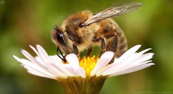 Медоносные пчёлы для переноса пыльцы из цветов в улей используют волоски на своём теле, которые растут даже из глаз