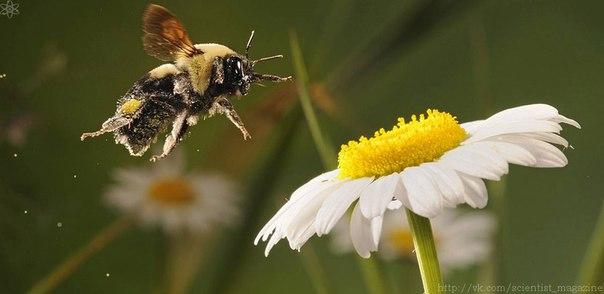Пчёлы во время полёта из-за трения воздуха о волоски на теле накапливают на себе положительный заряд, а цветы обычно имеют отрицательный заряд