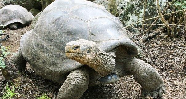 В 16 веке мореплаватели открыли Галапагосские острова, а с ними и обитающих там гигантских черепах