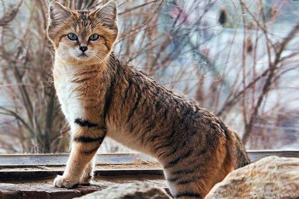 Барханный или песчаный кот.