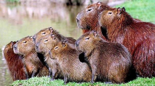 Колонизаторы и миссионеры Южной Америки встретили в 16 веке зверька капибару грызуна, ведущего полуводный образ жизни