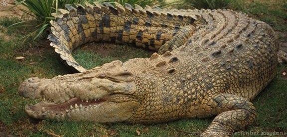 В Китае издавна любили лакомиться крокодильим мясом. На берегах Янцзы ловили маленьких крокодилов и откармливали их, пока хвост не достигал нужной длины.