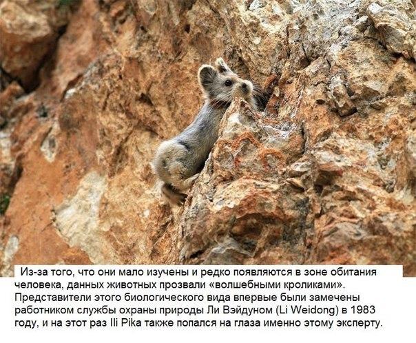 Этот редкий волшебный кролик попал в кадр впервые за 20 лет, и скоро их вид может исчезнуть навсегда
