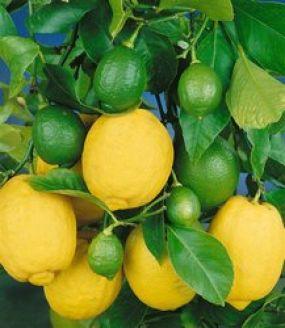 Сбор заказов. Павловский лимон - 2. Мирт, гортензия, роза.