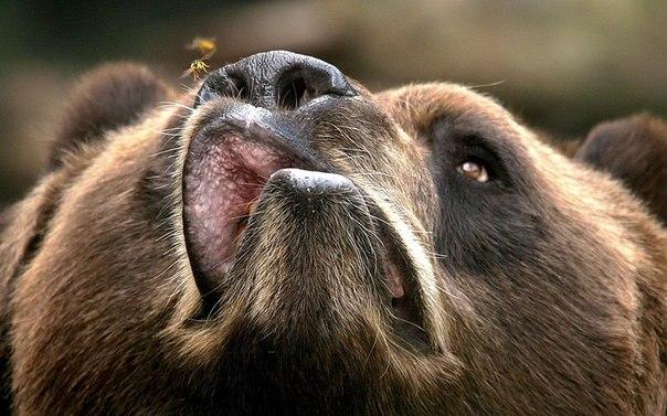 Медведи и пчелы: Фотограф Терри Серви из штата Нью-Йорк сделал этот снимок медведя Кадьяк, пытающегося съесть назойливую пчелу в его уютном логове в Зоопарке Буффало.