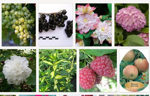 Саженцы плодовых и декоративных растений от Агрофириы Пousk. Скидки от поставщика!