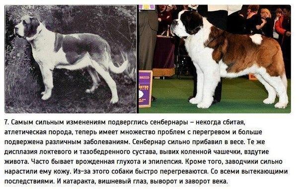 К чему привели 100 лет селекции собак