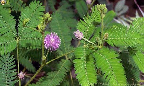 Растение мимоза стыдливая известно тем, что реагирует на прикосновения быстрым складыванием листочков, а через некоторое время снова раскрывает их.