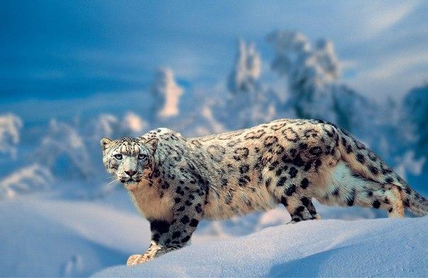 Снежный барс или ирбис самый редкий и необычный представитель кошачьих