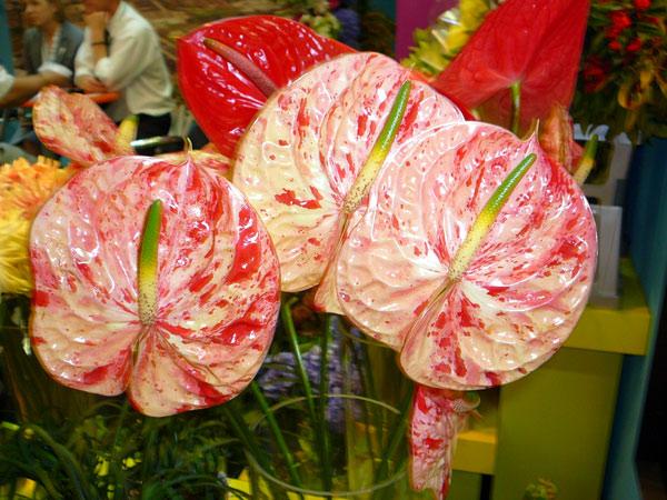 Примета гласит, что волшебный цветок спатифиллум или женское счастье удачно дополнит антуриум, называемый мужским