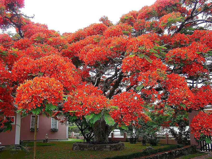 Огненное дерево - Делоникс королевский.