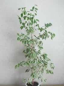 Продаю 2 цветка фикуса бенджамина высотой 1,2м