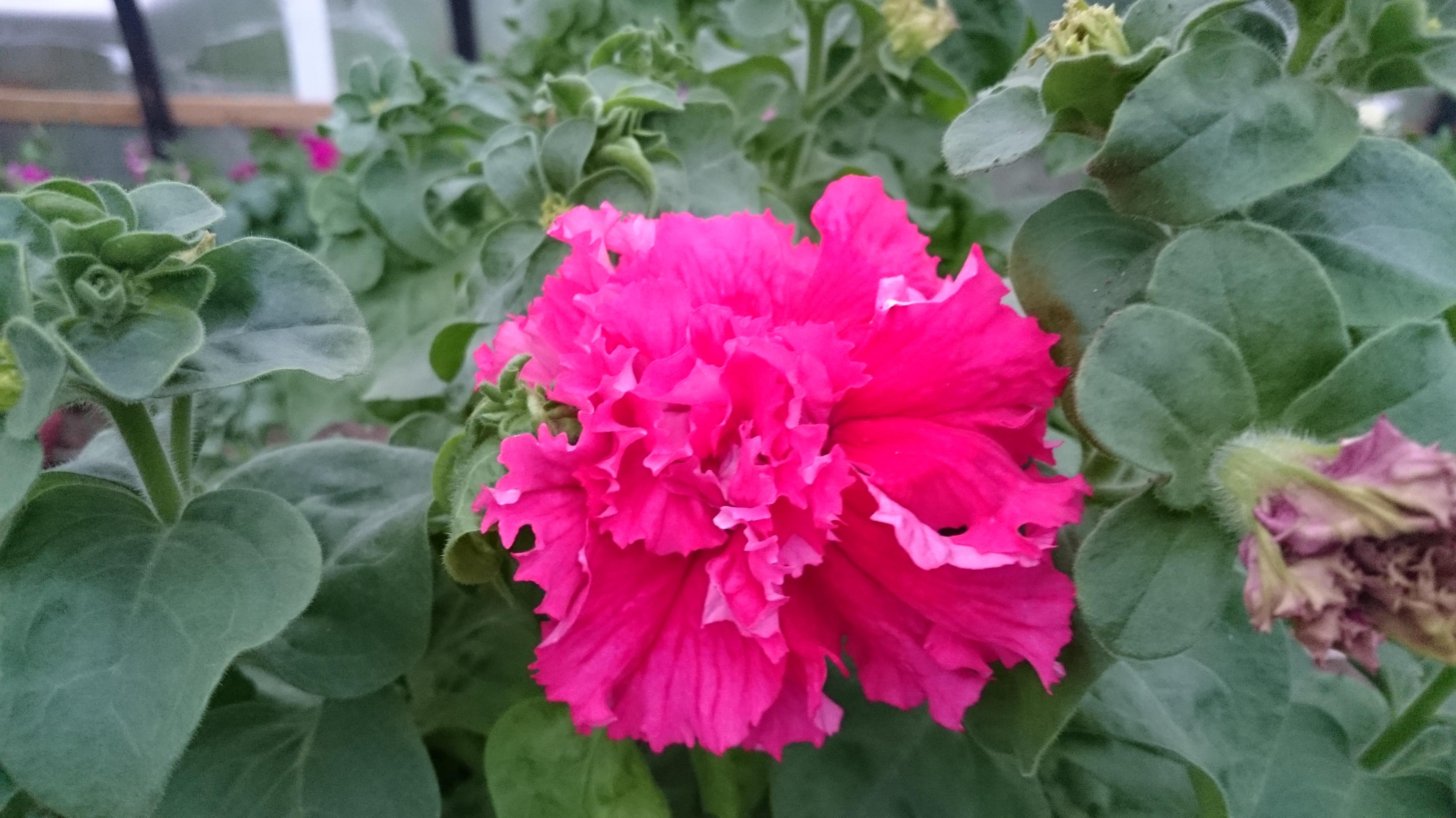В наличии имеются саженцы Петунии!!! Все фото в галерее с живых цветов!!