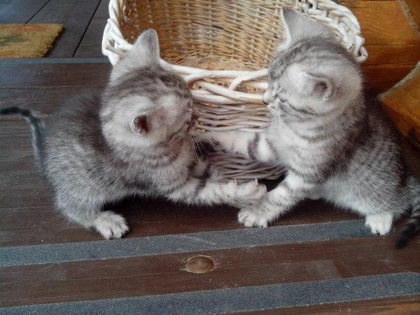 Ищут добрые руки четыре замечательных котёнка - 2 девочки Ариша и Лили, и 2 мальчика - Проша и Бакоша. Родились 16 мая. Папа - русский голубой. Мама - трехцветная ангорочка. Котята игривые, кушают отлично! Друзья, сделай репост))