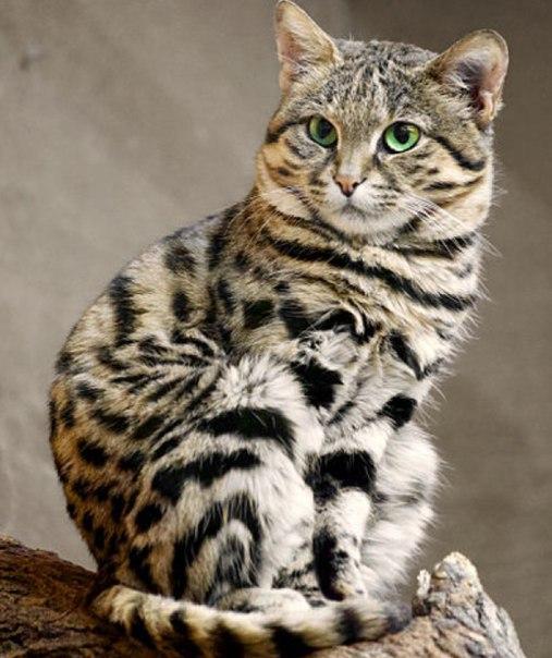 Африканский дикий кот - Черноногая кошка один из самых маленьких представителей вида. Взрослые особи весят всего 1,5