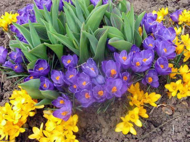 Тюльпаны, нарциссы, крокусы, гиацинты и другие луковичные для восхитительной весны в Вашем саду!