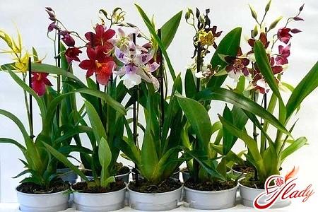 Как правильно ухаживать за камбрией и подтолкнуть к цветению