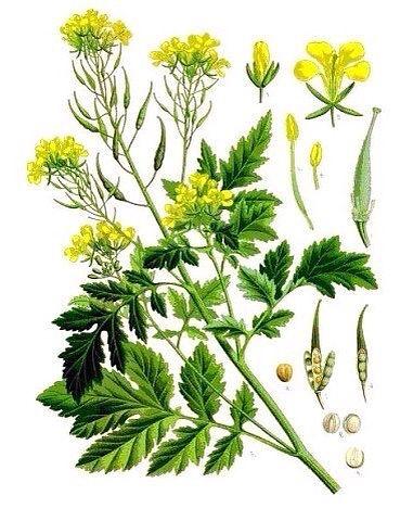 Горчица - зеленое удобрение: в чём польза, посадка, выращивание, применение