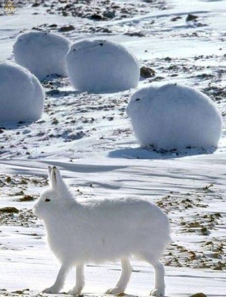 Арктические зайцы