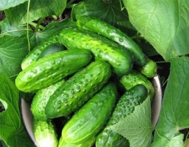 Едим огурцы до октября - советы агронома