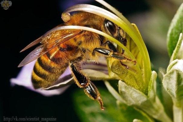 Где живут пчёлы, которые способны убивать шершней путём перегрева?