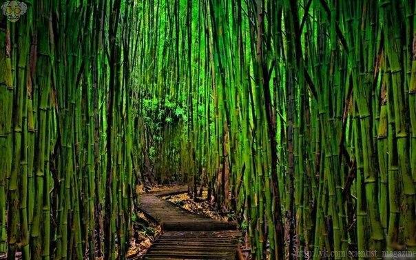 Этот бамбуковый лес расположен в Киото.
