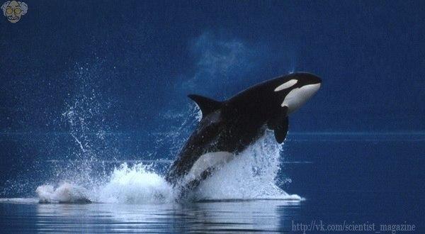 Морское млекопитающее косатка усыпляет белую акулу, переворачивая её на спину, отчего та захлёбывается. Косатка убивает свою жертву, только для того, чтобы съесть её печень и язык.