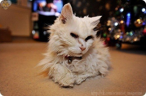 Самой старой кошке на планете 39 лет. По человеческим мерками она прожила уже 172 года