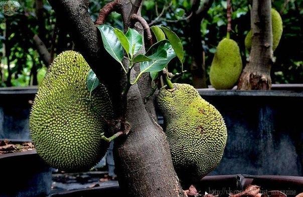 Один из самых крупных в мире плодов фруктового дерева джекфрут. Его вес может достигать 34 килограмм