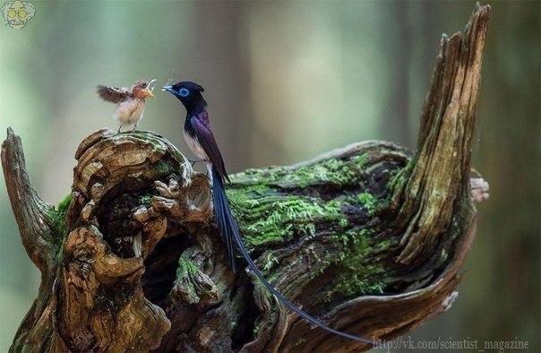 Японская райская мухоловка с птенцом
