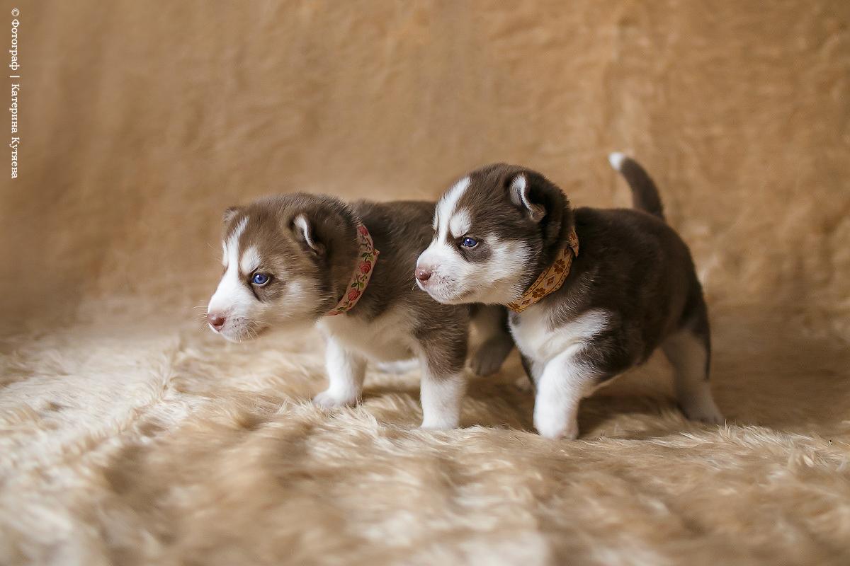 Детский фотопроект с щенками Хаски
