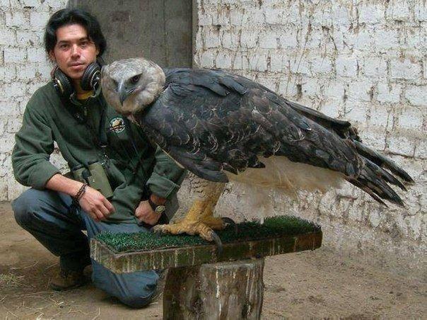 Это - орел Гарпии. Самый большой орел в мире.