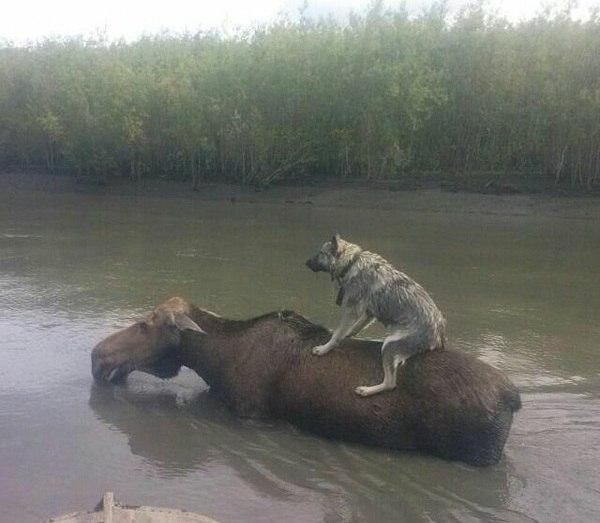 Собака на лосе