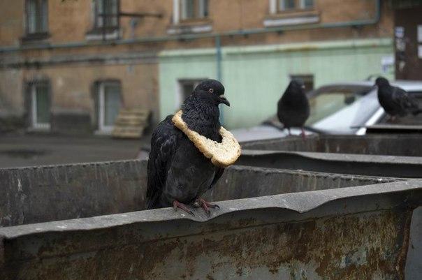 Символ достатка у голубей