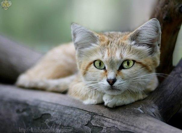 Барханный кот, обитающий в пустынях Северного полушария, - один из самых мелких представителей диких кошек.