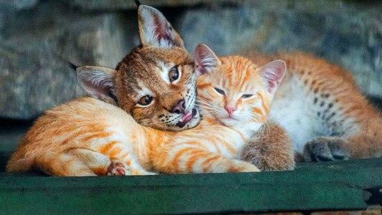 В Новосибирском зоопарке кошка стала приёмной матерью для маленького рысенка, который намного больше нее самой.