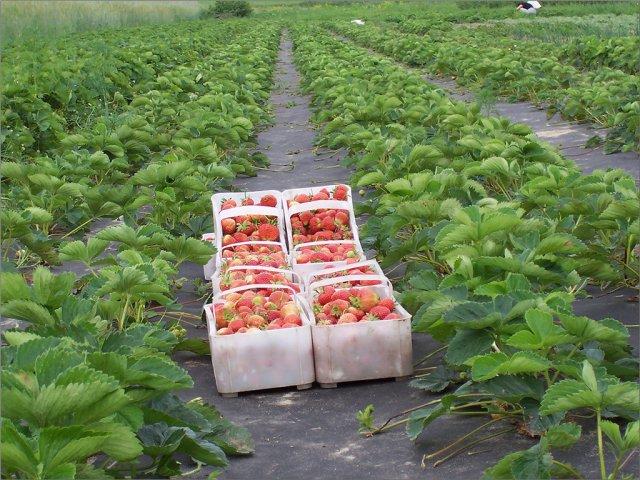 Экспресс-Сбор заказов. Спанбонд от сорняков-мульча (есть с готовыми отверстиями и плотнейший ГЕО) и белый укрывной, межгрядья, приствольные круги, чехлы на саженцы, зимнее укрытие для роз, винограда и многолетников-17