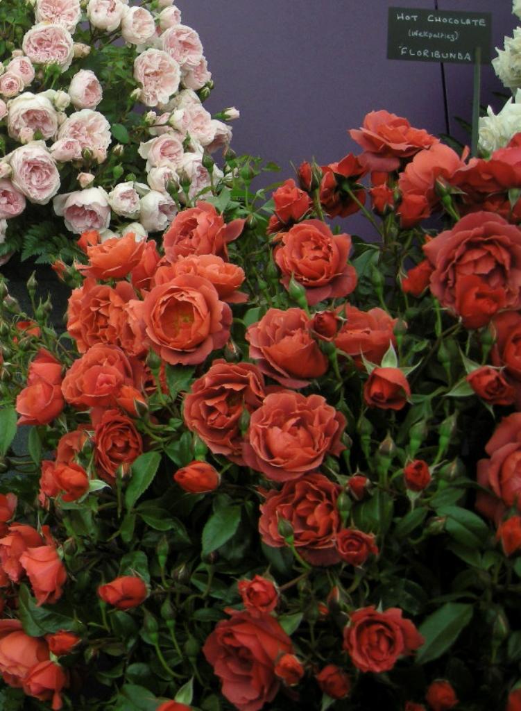 Розы Weeks на Весну 2016г