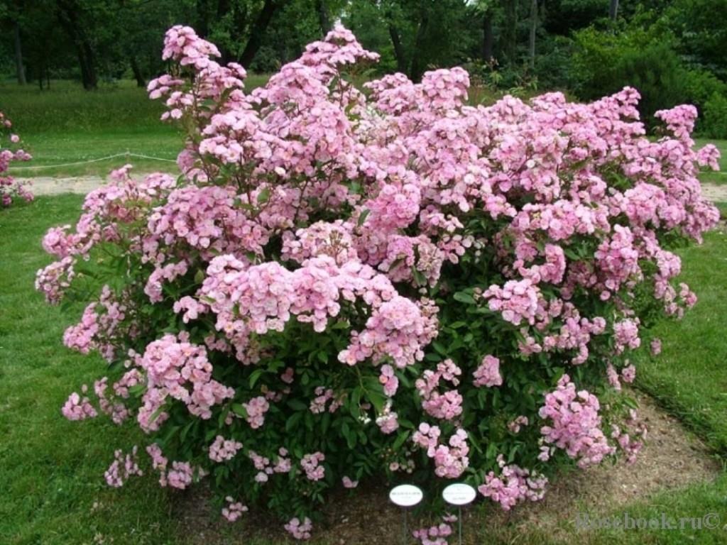 Невероятные, неповторимые розы Ленс Бельгия. Заказ на весну 2016г