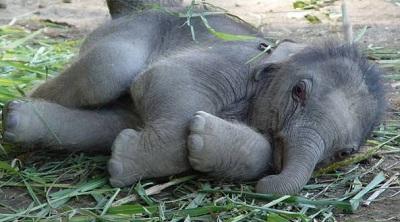 Сон слона