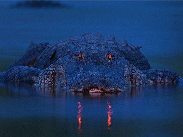 Аллигатор, Флорида. Самый большой аллигатор, когда-либо зафиксированный в истории, был обнаружен в американском штате Луизиана, его длина составила 5.8 метров а вес превысил 1 тонну.