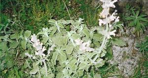 Шалфей (Salvia fruticosa)