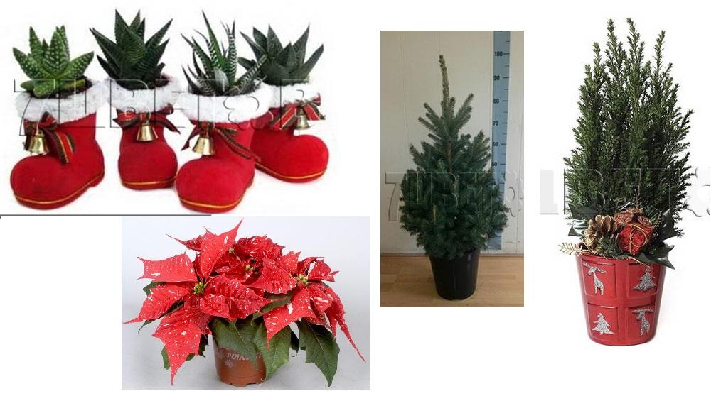 Сбор заказов. Горшечные комнатные растения, живая новогодняя коллекция, единственный выкуп к НГ.