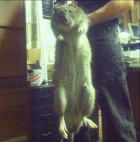 Крыса 18 кг!