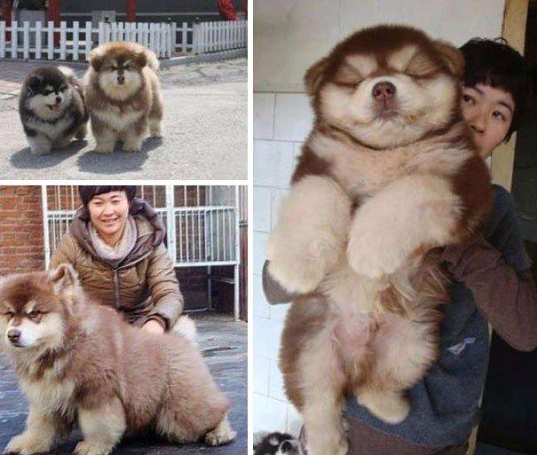 Собака Чауски (чау-чау и хаски)