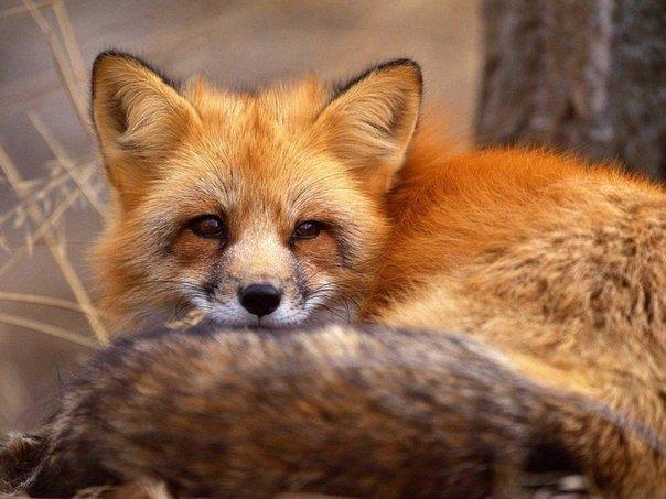 Почему у белки, лисы, соболя и прочих такой пушистый хвост?
