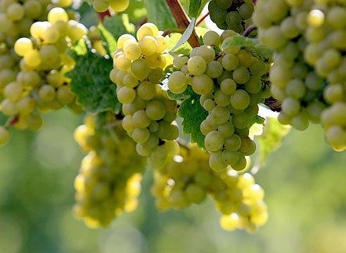 Советы по выращиванию винограда.