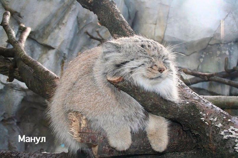 Редкие дикие кошки, о которых вы наверняка не знали